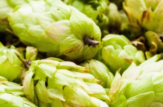 Herb of the Year: Hops Humulus ssp